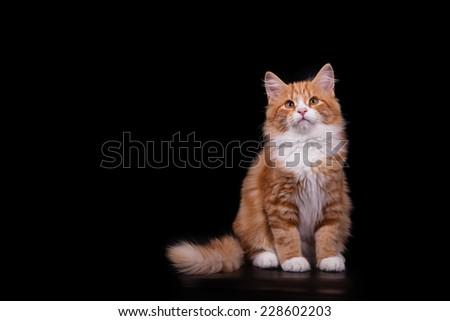 Siberian cat on black background. Cat sitting. - stock photo