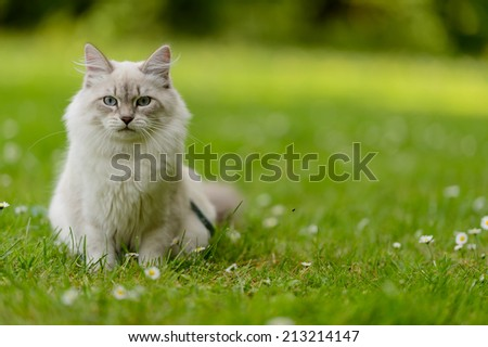 Siberian cat on nature  - stock photo