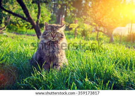 Siberian cat sitting in the garden on the grass at sunset - stock photo