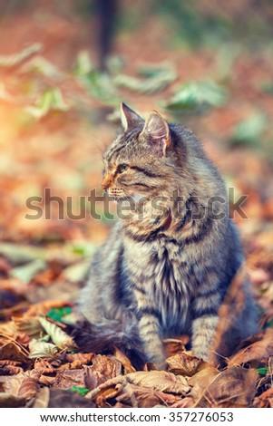 Siberian cat sitting on the fallen leaves in autumn - stock photo