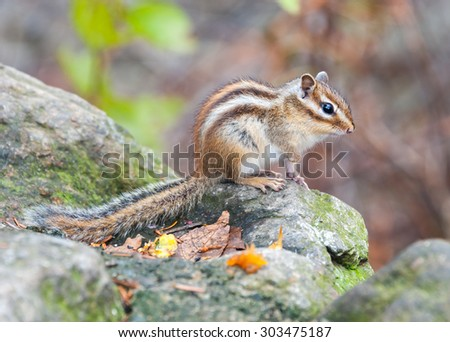 Siberian chipmunk - symbol animal of the  of Seoraksan National Park, South korea  - stock photo