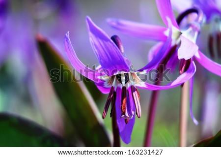 Siberian fawn lily (erythronium sibiricum) - 1. Beautiful perennial spring wildflower.                      - stock photo