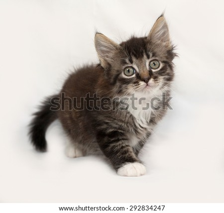 Siberian fluffy tabby kitten going on gray background - stock photo