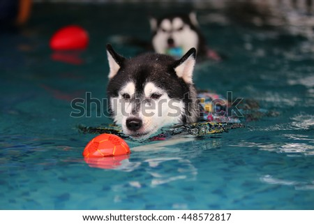 Siberian husky black and white colors wear life jacket enjoyed with rubber toys in swimming pool, dog swimming, happy dog, dog activity - stock photo
