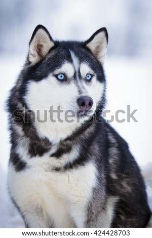 Siberian Husky black dog with blue eyes in winter outdoor - stock photo