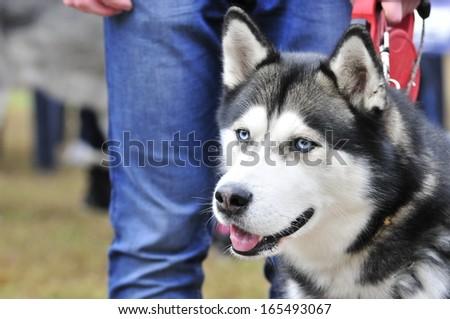 Siberian Husky. Dog - stock photo