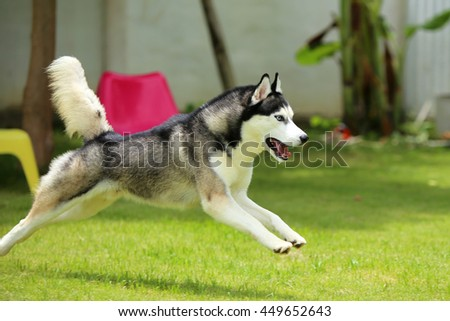 Siberian husky dog black and white colors with blue eyes running on grass field in sunshine day, dog activity, dog in the park, dog running, dog jumping, happy dog - stock photo