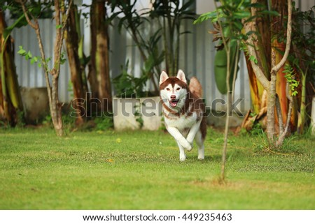 Siberian husky dog copper and white colors running in grass field, dog running, dog activity, happy dog, dog in the park - stock photo