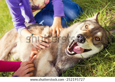 Siberian Husky dog Funny Portrait looking at camera lying on green grass and playing with two girls . - stock photo