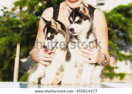 Siberian husky dog outdoors. Portrait of a little husky dog puppy. Close-up. Northern sled dog breeds. - stock photo