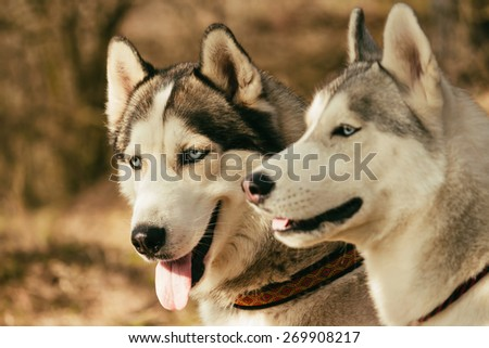 Siberian husky dog outdoors. Portrait of two dogs. Focus on the second dog. - stock photo