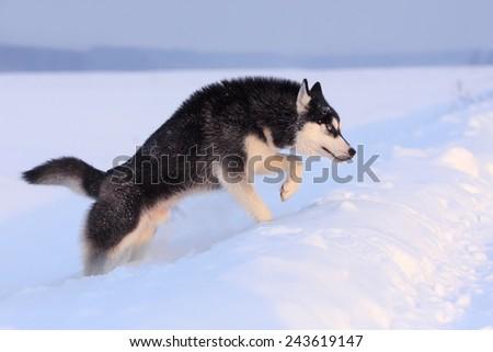 Siberian Husky dog running in the snow - stock photo