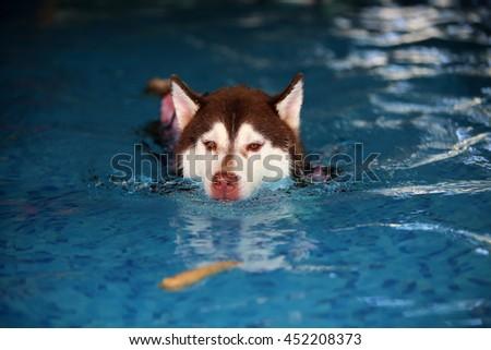 Siberian husky dog wear life jacket swim in swimming pool, dog swimming, happy dog, dog activity - stock photo