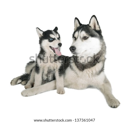 Siberian Husky Father and Son on white background - stock photo
