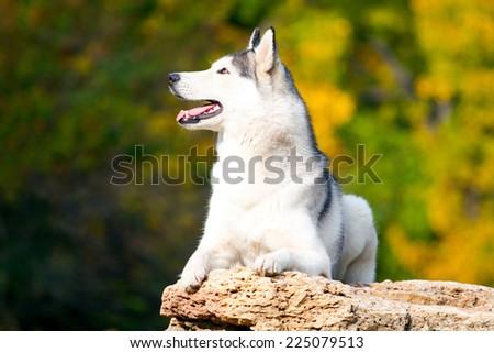 Siberian Husky in park on a stone - stock photo