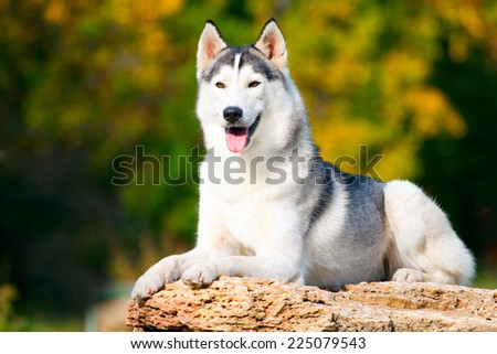Siberian Husky in park on a stone - stock photo