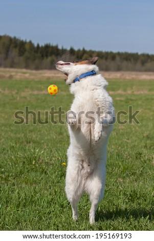 Siberian husky (laika) playing with a ball outdoors - stock photo
