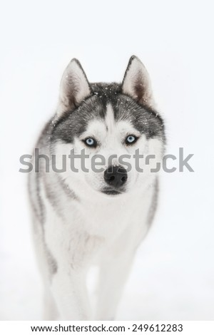 Siberian husky on white snow background - stock photo