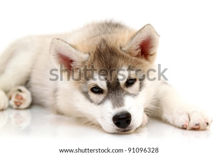 Siberian Husky puppy, age two months - stock photo