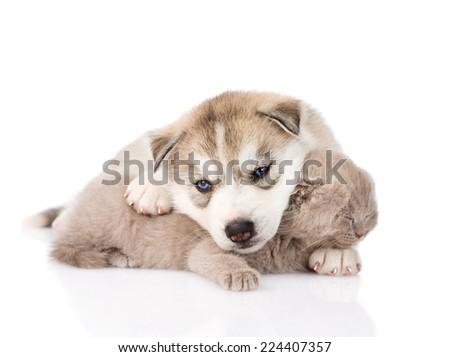 Siberian Husky puppy hugging sleeping scottish kitten. isolated on white background - stock photo