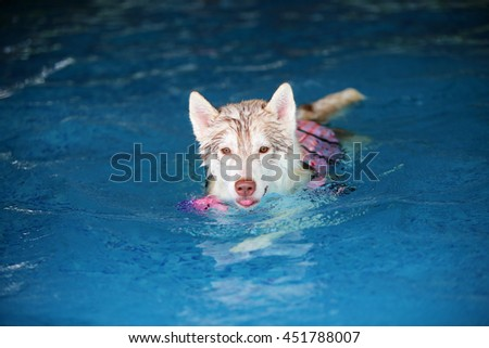 Siberian husky puppy light red and white colors wear life jacket swim in swimming pool, dog activity, happy dog, dog swimming - stock photo