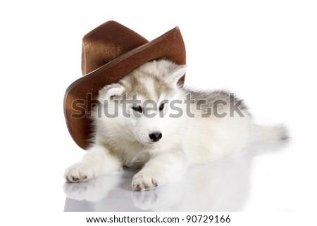 siberian husky puppy on white background - stock photo