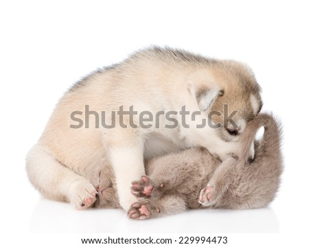 Siberian Husky puppy sniffing ass kitten. isolated on white background - stock photo