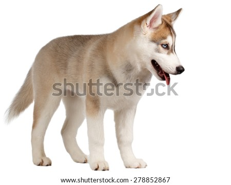 Siberian Husky Puppy Stands isolated on White background - stock photo