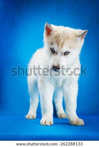 siberian husky puppy  with blue eyes blue background - stock photo