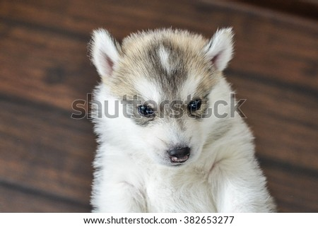 Siberian husky puppy with blue eyes in the rose petals - stock photo