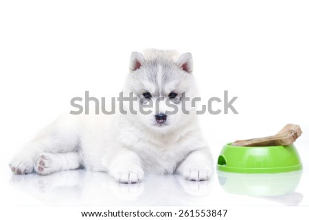 Siberian Husky puppy with bone isolated on a white background - stock photo