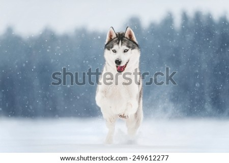 Siberian Husky run on photograph - stock photo