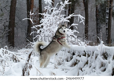 Siberian Husky winter. Siberian Husky frolics in the fresh snow. Siberian Husky stands having rested its front paws on the fence. - stock photo
