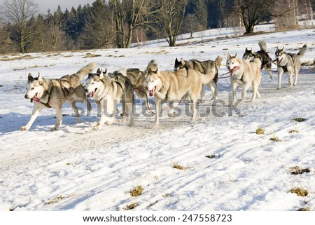 siberian huskys at race in winter  - stock photo