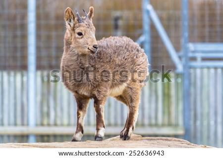 Siberian ibex  full-body shot - stock photo