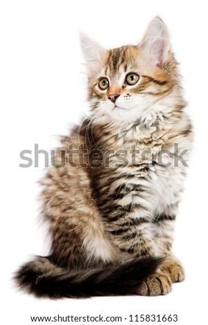 Siberian kitten isolated on the white background - stock photo