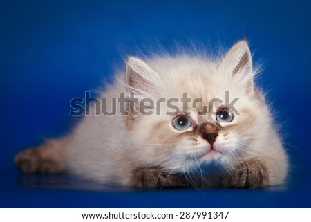 Siberian kitten lying and looking up on blue background - stock photo