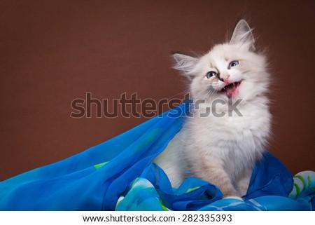 Siberian kitten meows - stock photo