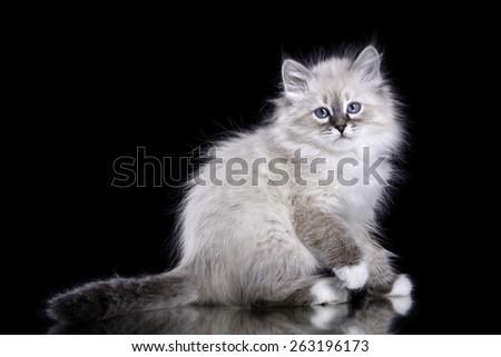 Siberian kitten sitting on black, isolated - stock photo