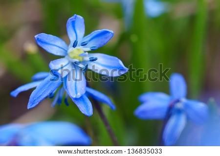Siberian squill blue flower - stock photo