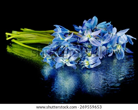Siberian squill or Scilla siberica on a black background with water drops      - stock photo