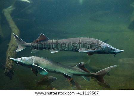 Siberian sturgeon (Acipenser baerii). Wild life animal.  - stock photo