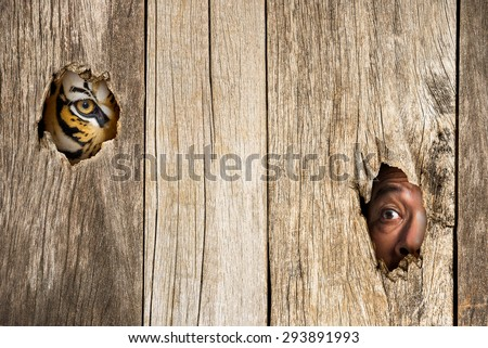 Siberian tiger and human eye in wooden hole in concept of scared - stock photo