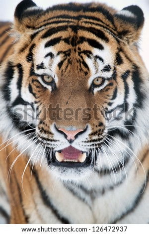 siberian tiger close up against a white background/Siberian Tiger - stock photo