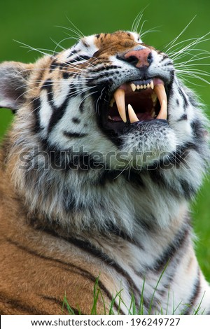 Siberian Tiger close up baring teeth/Tiger/Siberian Tiger (panthera tigris) - stock photo