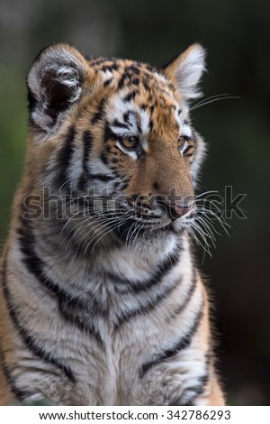Siberian Tiger Cub against a dark background/Amur Tiger Cub/Siberian Tiger Cub(Panthera Tigris Altaica) - stock photo