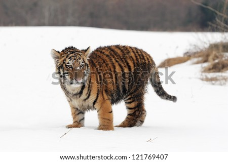 Siberian Tiger cub in Snow - stock photo