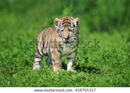 siberian tiger cub standing outdoors - stock photo