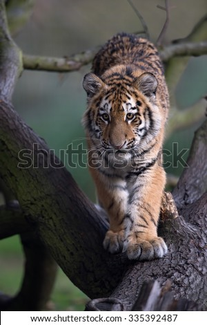 Siberian Tiger Cub walking down fallen tree in dark forest/Amur Tiger Cub/Siberian Tiger Cub(Panthera Tigris Altaica) - stock photo