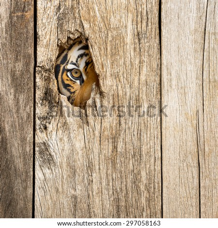 Siberian tiger eye in wooden hole in concept of secretly dangerous - stock photo